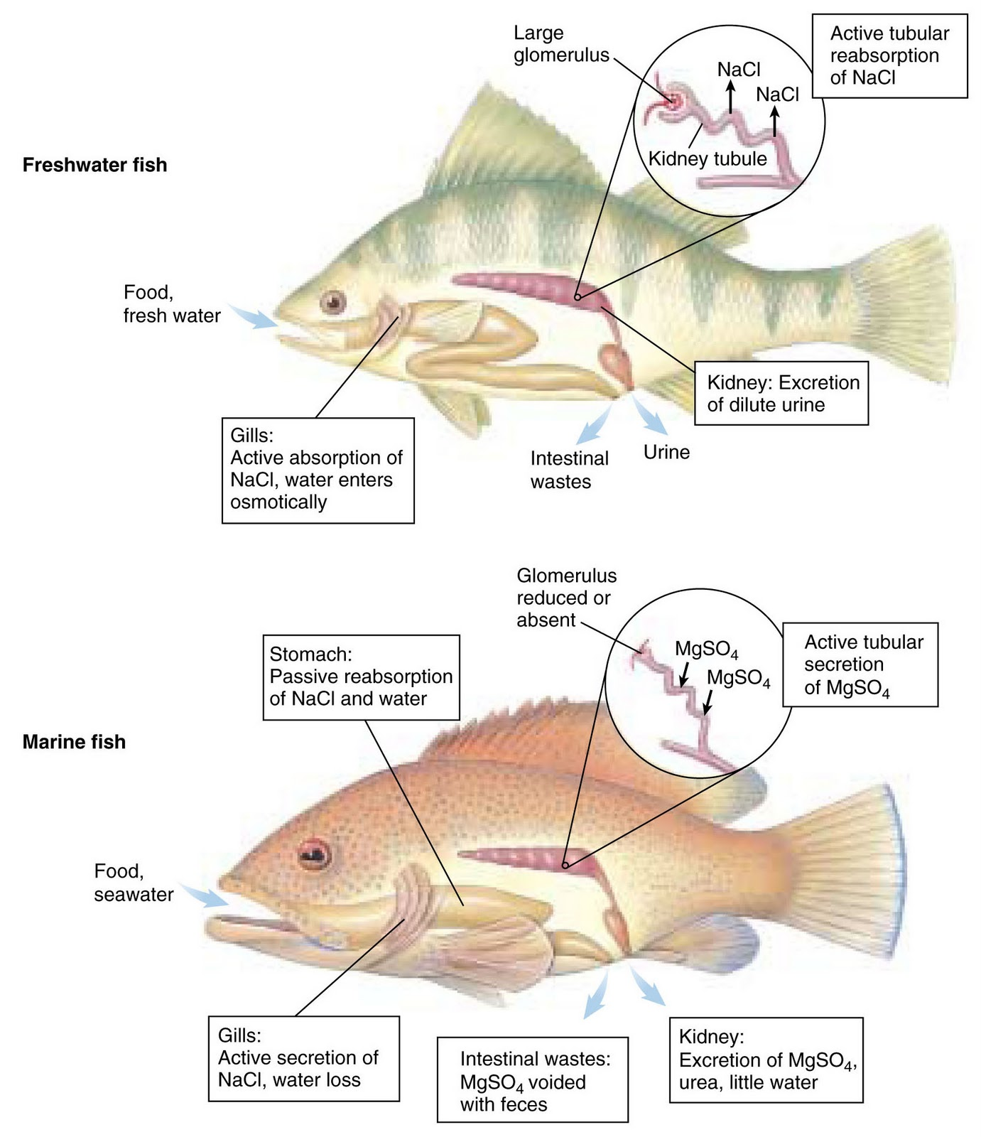 The intimate link between the lungs kidneys blood for How to fresh water fish